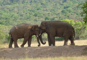 800px-Two-Elephants
